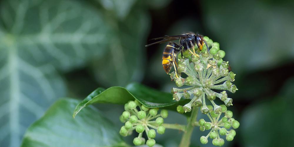 Asiatische Hornisse auf einer Pflanze